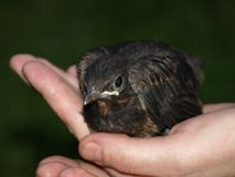ένα μικρό πουλί στο χέρι Στοκ Εικόνα