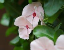 Ένα μικρό ρόδινο λουλούδι με μια μικρή θαμπάδα στοκ εικόνα με δικαίωμα ελεύθερης χρήσης