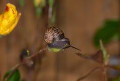 Ένα μικρό σαλιγκάρι που ισορροπείται precariously Στοκ εικόνες με δικαίωμα ελεύθερης χρήσης