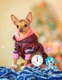 Ένα μικρό σκυλί στα θερμά ενδύματα με ένα ρολόι στοκ φωτογραφίες