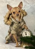 Ένα μικρό σκυλί στις θερμές φόρμες στοκ φωτογραφίες