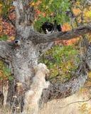 Ένα μικρό σκυλί μιγμάτων τεριέ χαράζει μια γραπτή γάτα επάνω ένα δέντρο στοκ φωτογραφίες με δικαίωμα ελεύθερης χρήσης