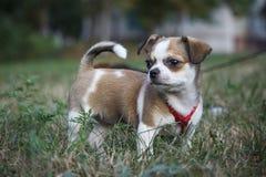 Ένα μικρό σκυλί περπατά στο καθάρισμα Στοκ φωτογραφίες με δικαίωμα ελεύθερης χρήσης