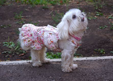 Ένα μικρό σκυλί σε ένα φόρεμα Στοκ Φωτογραφίες
