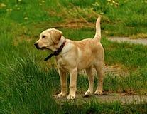 Ένα μικρό σκυλί τρέχει με το ραβδί Στοκ φωτογραφία με δικαίωμα ελεύθερης χρήσης