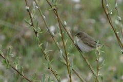 Ένα μικρό σπουργίτι πουλιών από τα διαφορετικά χρώματα Στοκ φωτογραφία με δικαίωμα ελεύθερης χρήσης