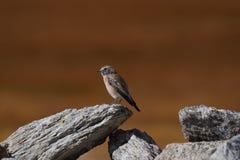 Ένα μικρό σπουργίτι πουλιών κάθεται στην άκρη μιας γκρίζας πέτρας σε ένα καφετί υπόβαθρο Στοκ Φωτογραφία