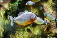 Ένα μικρό τροπικό ψάρι επιπλέει στο σαφές νερό σε ένα ενυδρείο Στοκ εικόνα με δικαίωμα ελεύθερης χρήσης