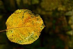 Ένα μικρό, υγρό, πεσμένο φύλλο του κίτρινου χρώματος Στοκ εικόνα με δικαίωμα ελεύθερης χρήσης