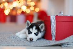 Ένα μικρό χαριτωμένο γραπτό γεροδεμένο κουτάβι βρίσκεται στο κόκκινο δώρο, β στοκ φωτογραφία με δικαίωμα ελεύθερης χρήσης