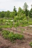 Ένα μικρό Apple-δέντρο αυξάνεται Στοκ Φωτογραφία