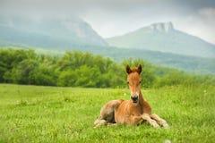 Ένα μικρό foal άλογο σε ένα πράσινο ξέφωτο Στοκ Εικόνα