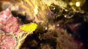 Ένα μικρό nudibranch κινείται απόθεμα βίντεο