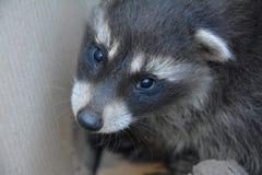 Ένα μικρό racoon - μωρό Στοκ φωτογραφία με δικαίωμα ελεύθερης χρήσης