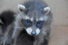 Ένα μικρό racoon - μωρό Στοκ Φωτογραφία