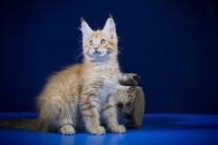 Ένα μικρό redhead γατάκι με τα μεγάλα αυτιά των φυλών του Μαίην Coon παιχνιδιάρικα σε ένα μπλε υπόβαθρο Στοκ εικόνα με δικαίωμα ελεύθερης χρήσης
