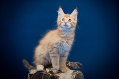 Ένα μικρό redhead γατάκι με τα μεγάλα αυτιά των φυλών του Μαίην Coon παιχνιδιάρικα σε ένα μπλε υπόβαθρο Στοκ εικόνες με δικαίωμα ελεύθερης χρήσης