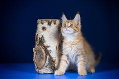 Ένα μικρό redhead γατάκι με τα μεγάλα αυτιά των φυλών του Μαίην Coon παιχνιδιάρικα σε ένα μπλε υπόβαθρο Στοκ Φωτογραφία