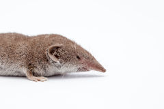 Ένα μικρό shrew Στοκ εικόνες με δικαίωμα ελεύθερης χρήσης