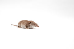 Ένα μικρό shrew Στοκ Φωτογραφία
