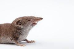 Ένα μικρό shrew Στοκ Εικόνα