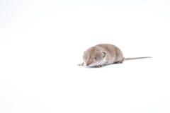 Ένα μικρό shrew Στοκ φωτογραφία με δικαίωμα ελεύθερης χρήσης