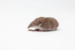 Ένα μικρό shrew Στοκ Φωτογραφίες
