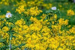 Ένα μπάλωμα του κομμένου φύλλου Groundsel με τα λουλούδια άσπρων παπαρουνών Στοκ Φωτογραφία