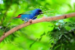Ένα μπλε-αντιμέτωπο πουλί Parrotfinch Στοκ Εικόνες