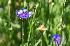 Ένα μπλε λουλούδι αυξάνεται σε έναν τομέα μεταξύ της πράσινης χλόης Στοκ Εικόνες