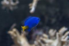 Ένα μπλε ψάρι σκοπέλων Στοκ φωτογραφίες με δικαίωμα ελεύθερης χρήσης