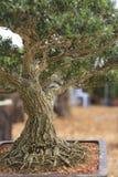 Ένα μπονσάι πεύκων που απομονώνεται σε ένα υπόβαθρο φύσης Στοκ Φωτογραφίες