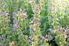 Ένα μπούσελ με τα λογικά officinalis Salvia λουλουδιών στοκ φωτογραφίες με δικαίωμα ελεύθερης χρήσης