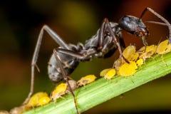 Ένα μυρμήγκι και aphids Στοκ Φωτογραφίες