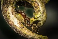 Ένα μυρμήγκι πυρκαγιάς που σέρνεται επάνω σε ένα φύλλο Στοκ Φωτογραφίες