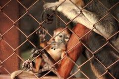 Ένα μωρό κόκκινος-douc Langur που προσκολλάται κλουβί κάθεται με το π τους στοκ εικόνες