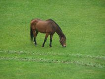 Ένα μόνο άλογο σε ένα λιβάδι το φθινόπωρο Jurmala στοκ εικόνα