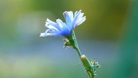 Ένα μόνο μπλε λουλούδι αυξάνεται σε έναν τομέα Κινηματογράφηση σε πρώτο πλάνο ενός λουλουδιού απόθεμα βίντεο