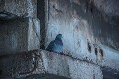 Ένα μόνο περιστέρι έκρυψε από τη βροχή Στοκ Φωτογραφία