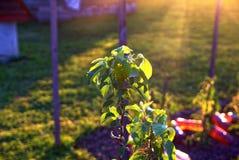 Ένα νέο δέντρο της Apple στην ηλιοφάνεια το καλοκαίρι Στοκ Εικόνα