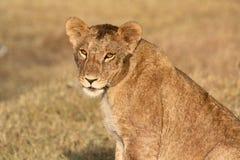 Ένα νέο λιοντάρι που κοιτάζει επίμονα στη κάμερα στοκ εικόνα
