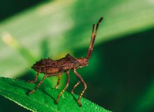 Ένα νέο καφετί bedbug sorrel marginatus Coreus ακρών Στοκ Εικόνα