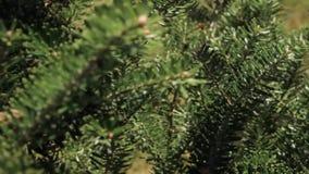 Ένα νέο κωνοφόρο δέντρο απόθεμα βίντεο