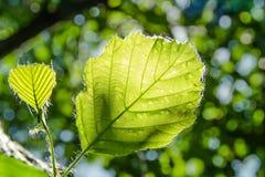 Ένα νέο μεγάλο φύλλο και ένα μικρότερο φύλλο στο πρώτο πλάνο με το όμορφο πράσινο υπόβαθρο bokeh Στοκ εικόνες με δικαίωμα ελεύθερης χρήσης