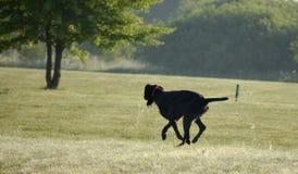 Ένα νέο μυϊκό καφετί σκυλί κυνηγιού είναι παραμονή στον τομέα μεταξύ της πράσινης χλόης Θερμό ημερησίως άνοιξη Γερμανικός μακρυμά Στοκ Εικόνες