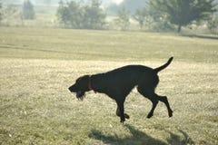 Ένα νέο μυϊκό καφετί σκυλί κυνηγιού πηδά στον τομέα μεταξύ της πράσινης χλόης Θερμό ημερησίως άνοιξη Γερμανικός μακρυμάλλης Στοκ φωτογραφία με δικαίωμα ελεύθερης χρήσης