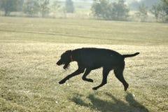 Ένα νέο μυϊκό καφετί σκυλί κυνηγιού πηδά στον τομέα μεταξύ της πράσινης χλόης Θερινό θερμό ημερησίως Γερμανικός μακρυμάλλης Στοκ Εικόνες