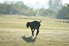 Ένα νέο μυϊκό καφετί σκυλί κυνηγιού πηδά στον τομέα μεταξύ της πράσινης χλόης Ημερησίως θερινής πτώσης Γερμανικός μακρυμάλλης Στοκ εικόνες με δικαίωμα ελεύθερης χρήσης