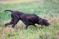 Ένα νέο μυϊκό καφετί σκυλί κυνηγιού στέκεται σε ένα σημείο στον τομέα μεταξύ της πράσινης χλόης Θερμό ημερησίως άνοιξη Στοκ Εικόνες