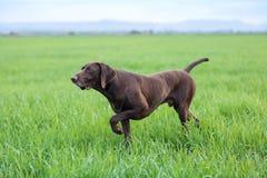 Ένα νέο μυϊκό καφετί σκυλί κυνηγιού στέκεται σε ένα σημείο στον τομέα μεταξύ της πράσινης χλόης Θερμό ημερησίως άνοιξη Στοκ Εικόνα
